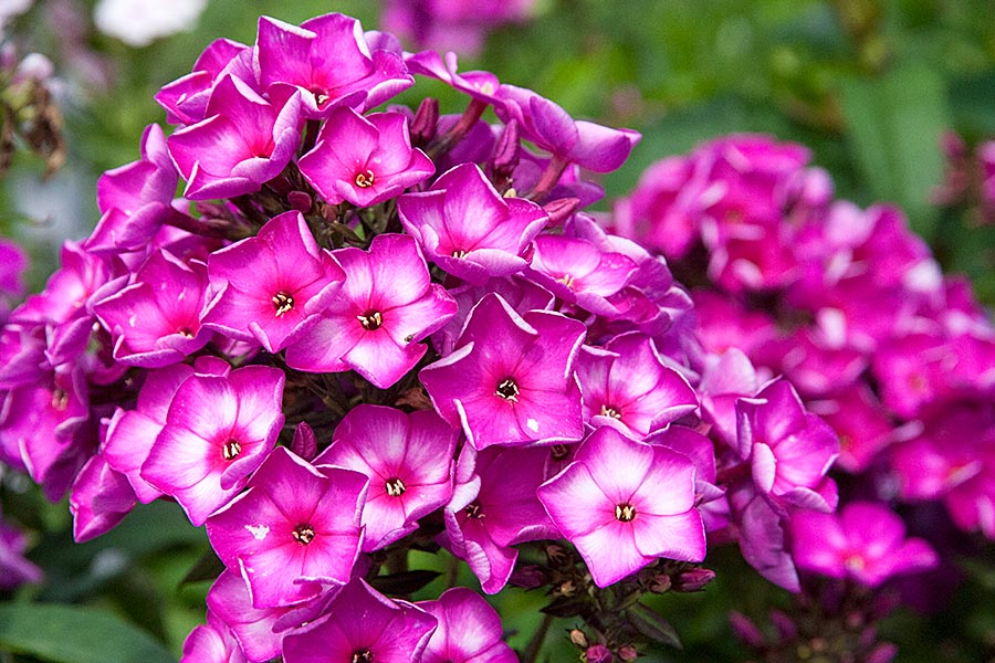 Pink Phylox