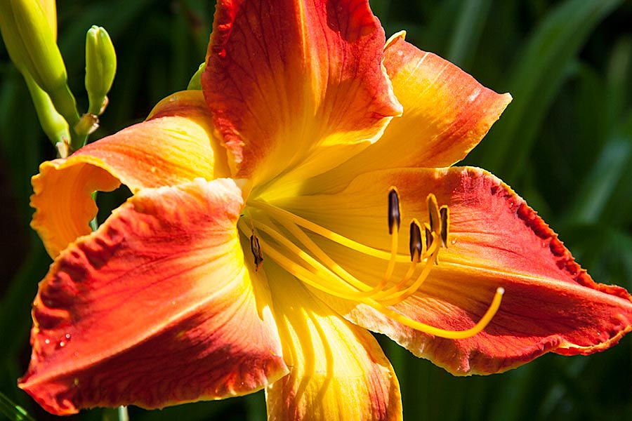 Day Lily Time