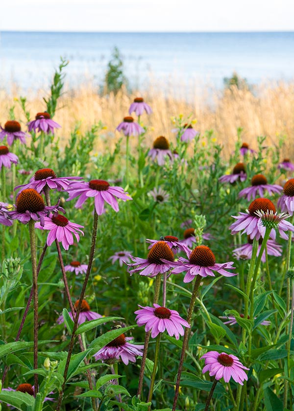 Coneflowers by the Lake