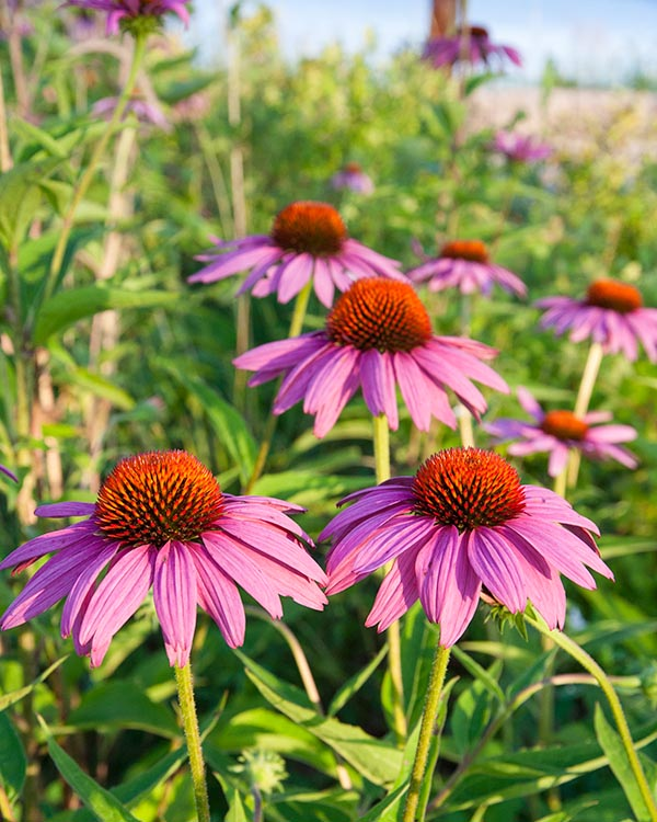 Coneflowers in the Sun