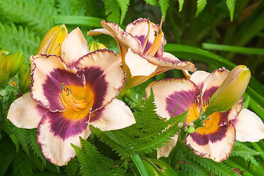 Triple Lilies