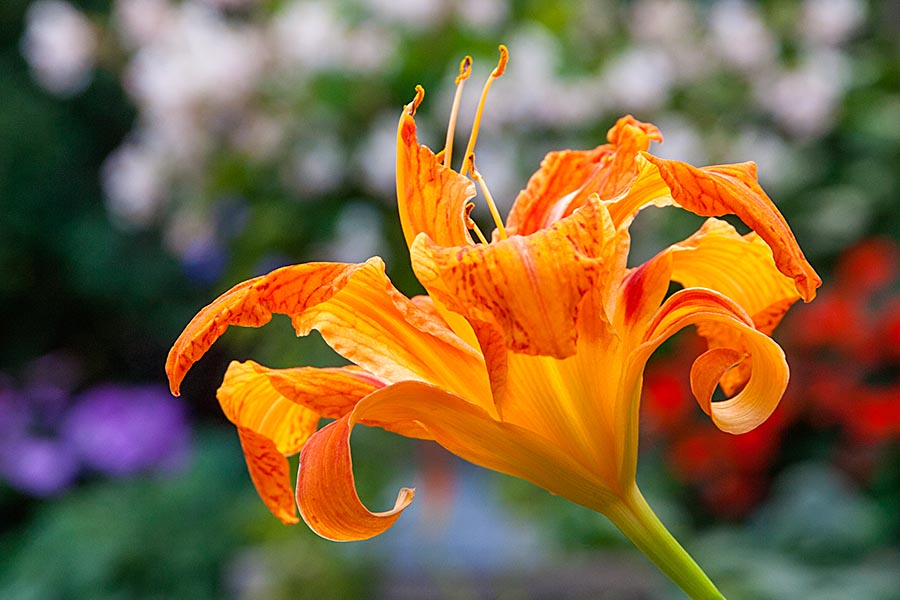Double Day Lily