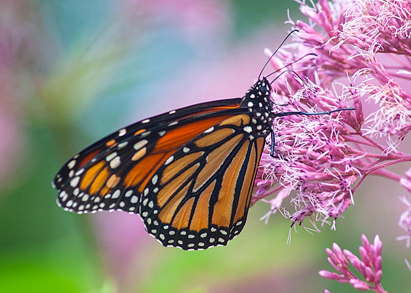 Another Monarch on Joe Pye Weed