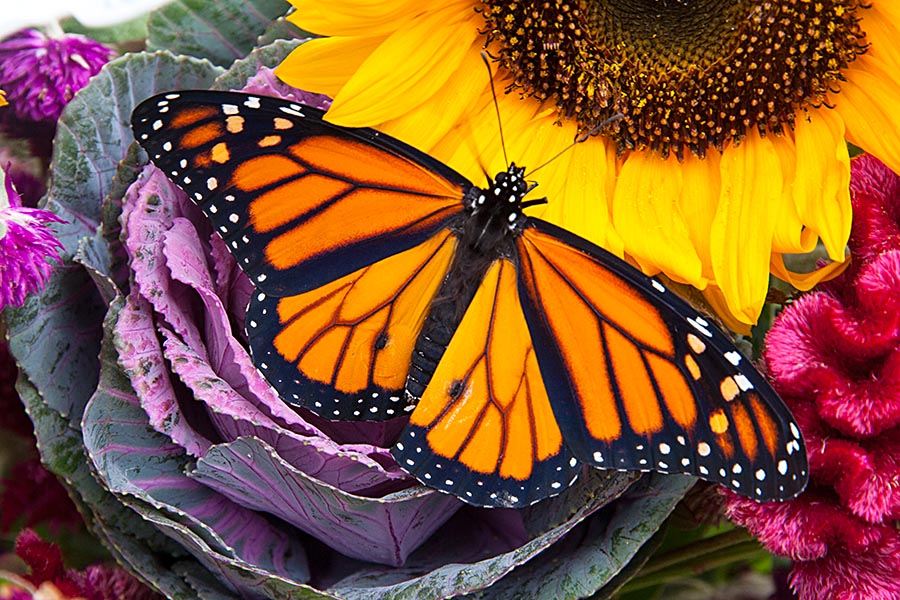 Monarch on Fall Flowers