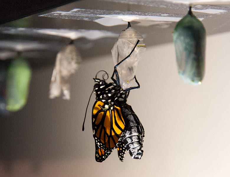 Another Monarch Emerges
