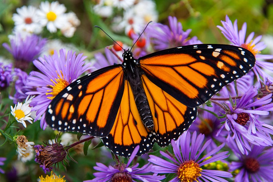 Monarch on Michaelmas Daisies
