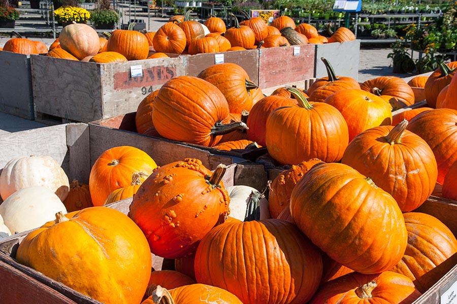 Crates Full of Pumpkins