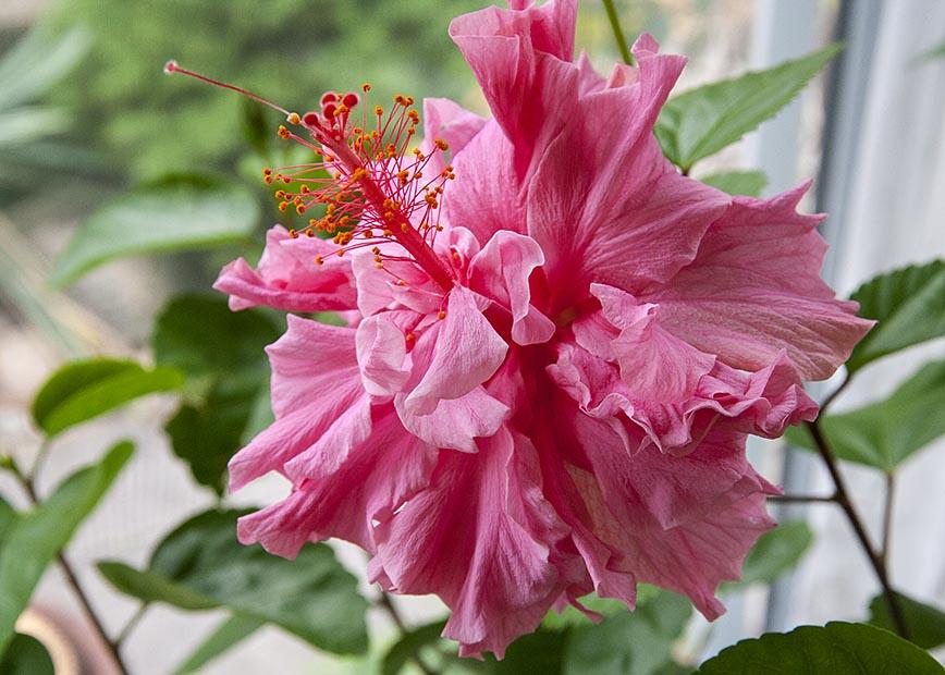 Double Pink Hibiscus