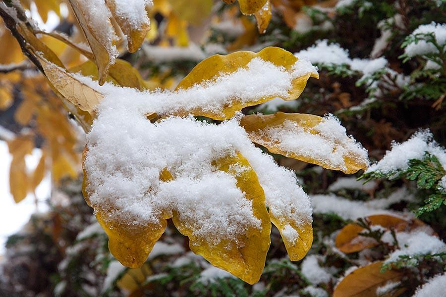 Snow on the Magnolia