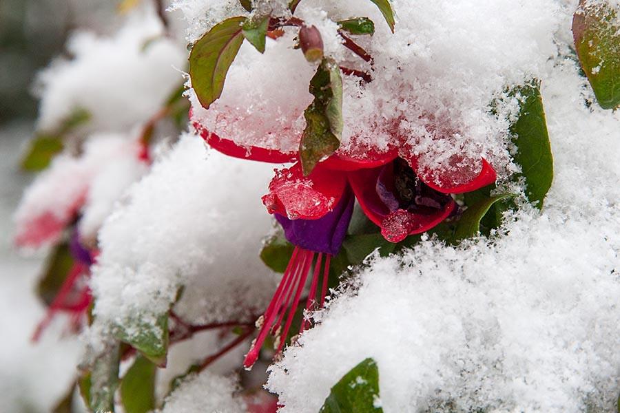 Snow-Covered Fuchsia