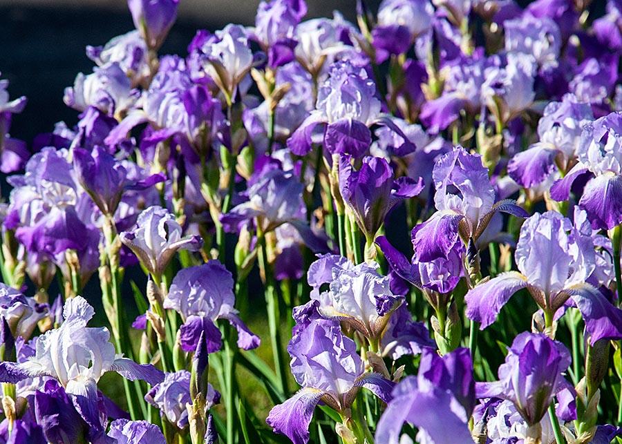 Mass of Irises