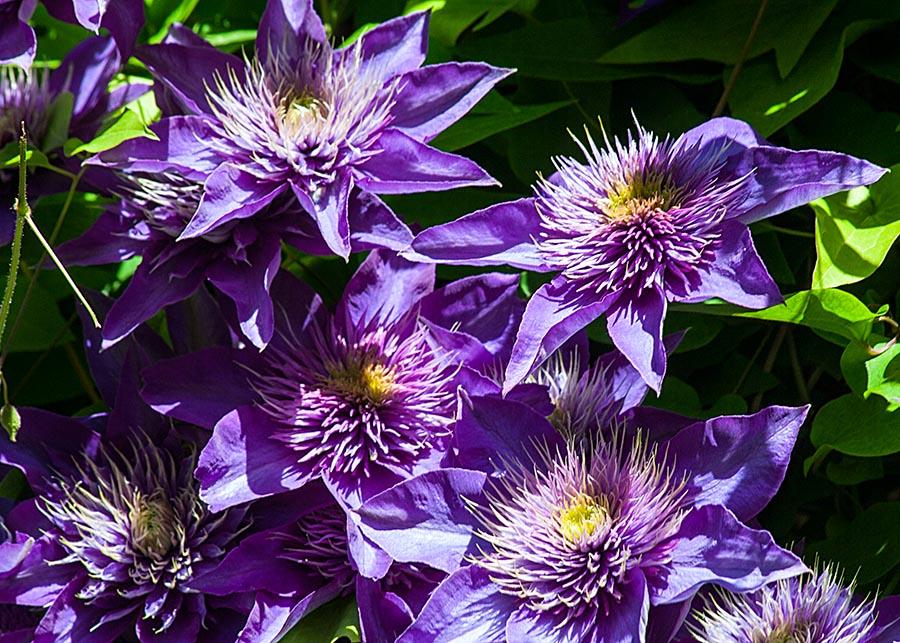Purple in the Sun
