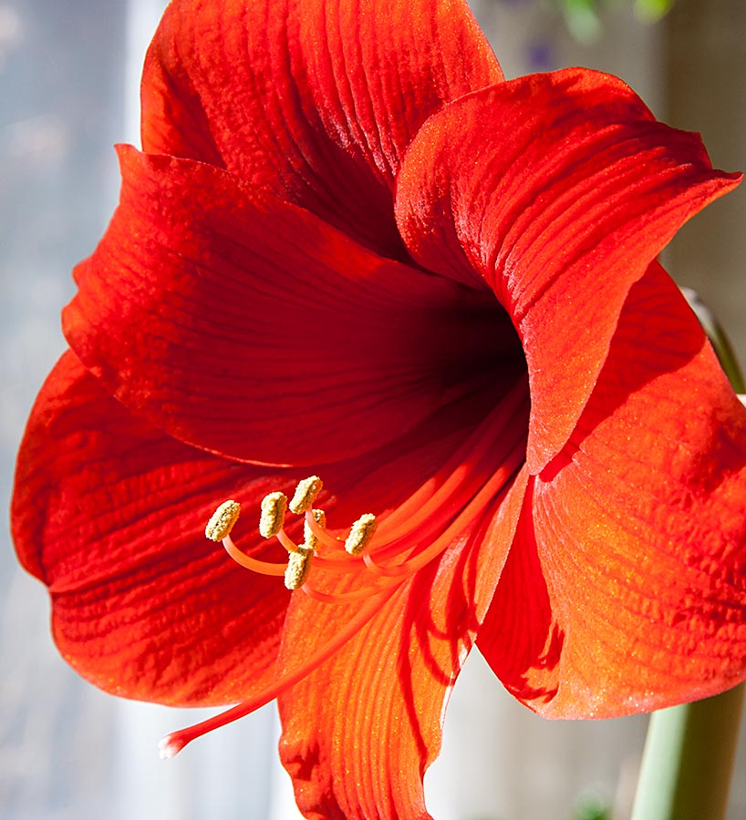 Single Amaryllis