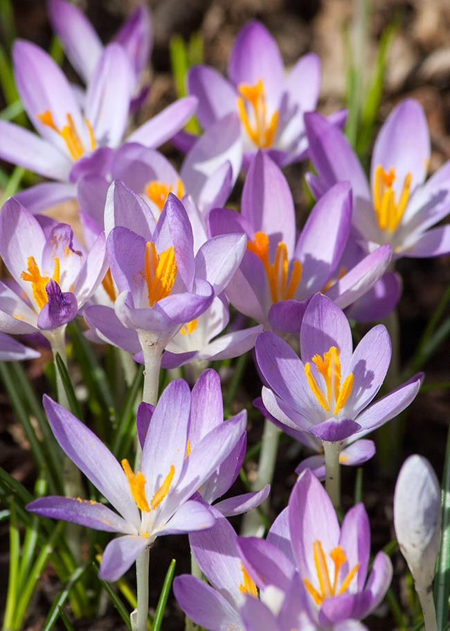 Still Some Early Crocuses