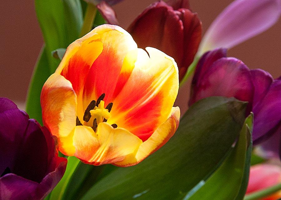 Tulip in the Sun