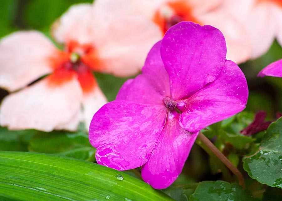 Trying Impatiens Again